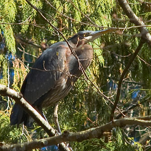 A great blue heron stands in a tree, surveying the distance